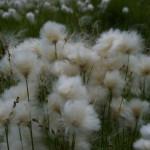 51 полярные одуванчики